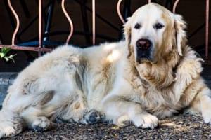 大型犬も保険に入るべき?~ペット保険選びのすすめ~