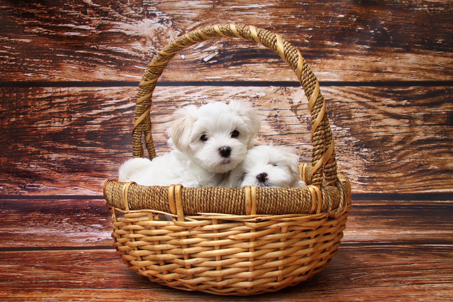 犬にチョコレートを与えるのはダメ?その理由と対処法紹介!