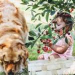 犬にさくらんぼを与えるのはダメ?その理由と対処法紹介!