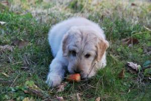 犬にトマトを与えるのはダメ?その理由と対処法紹介!